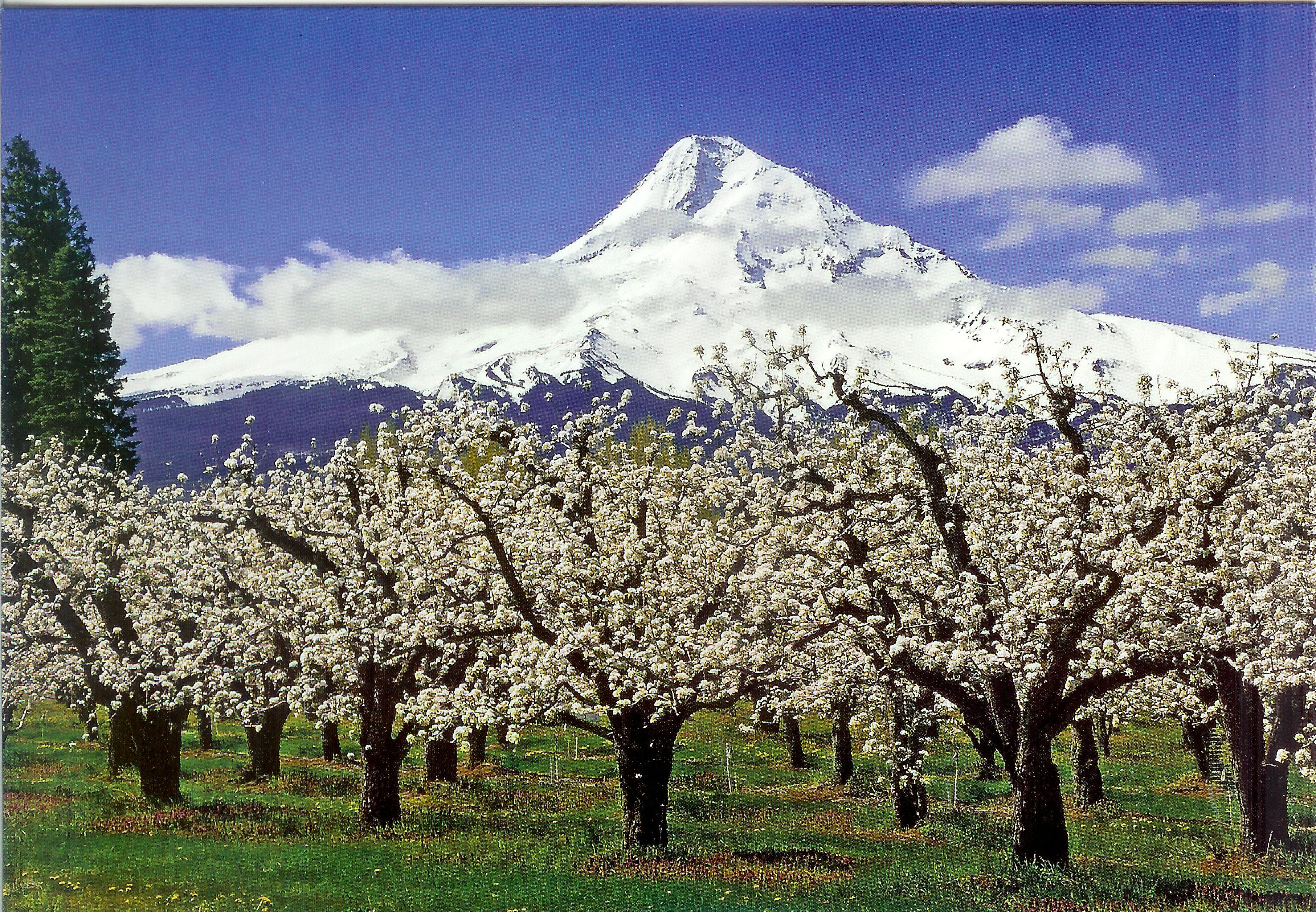 Mt Hood And The Blooming Fruit Orchards Of The Hood River