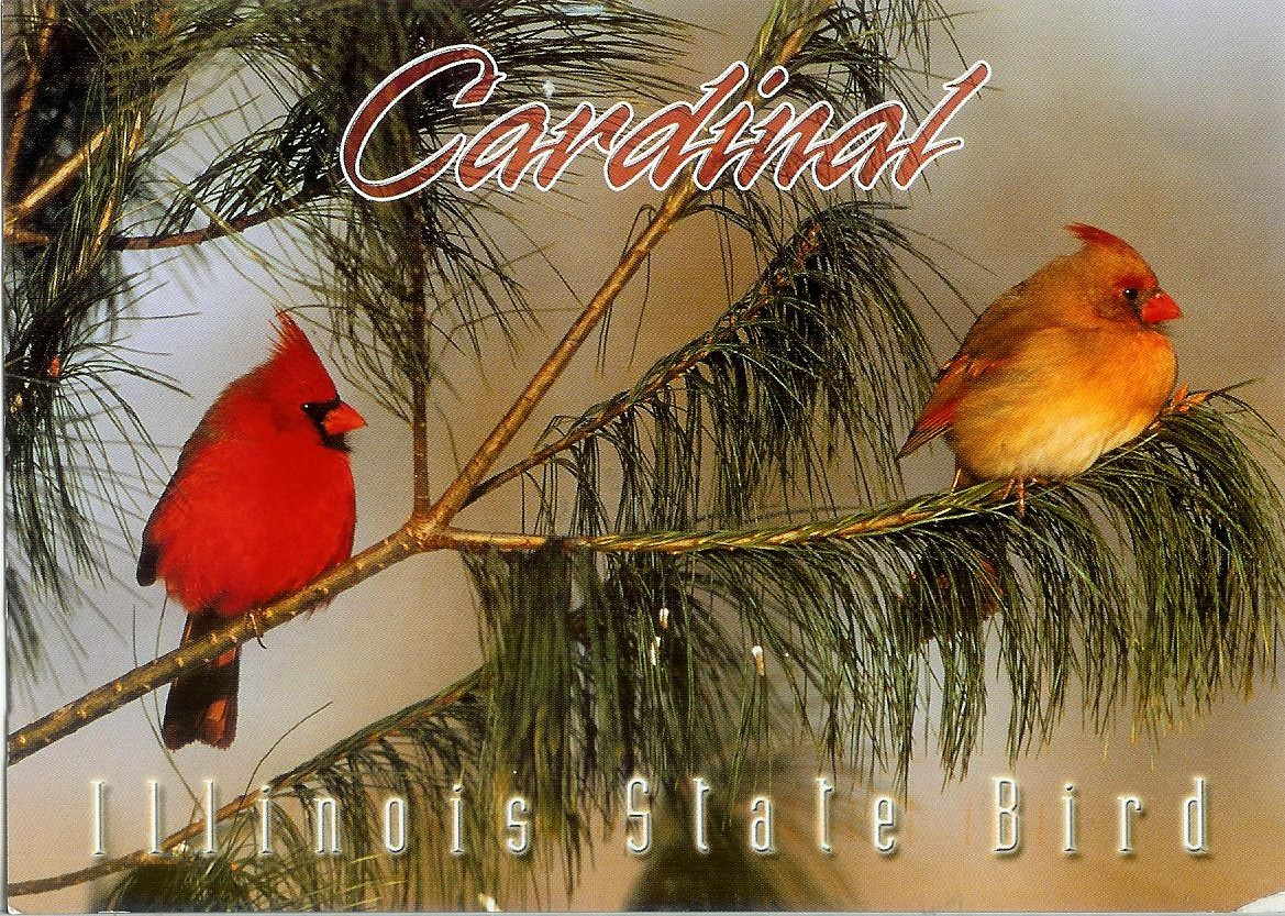 cardinal illinois state bird remembering letters and postcards