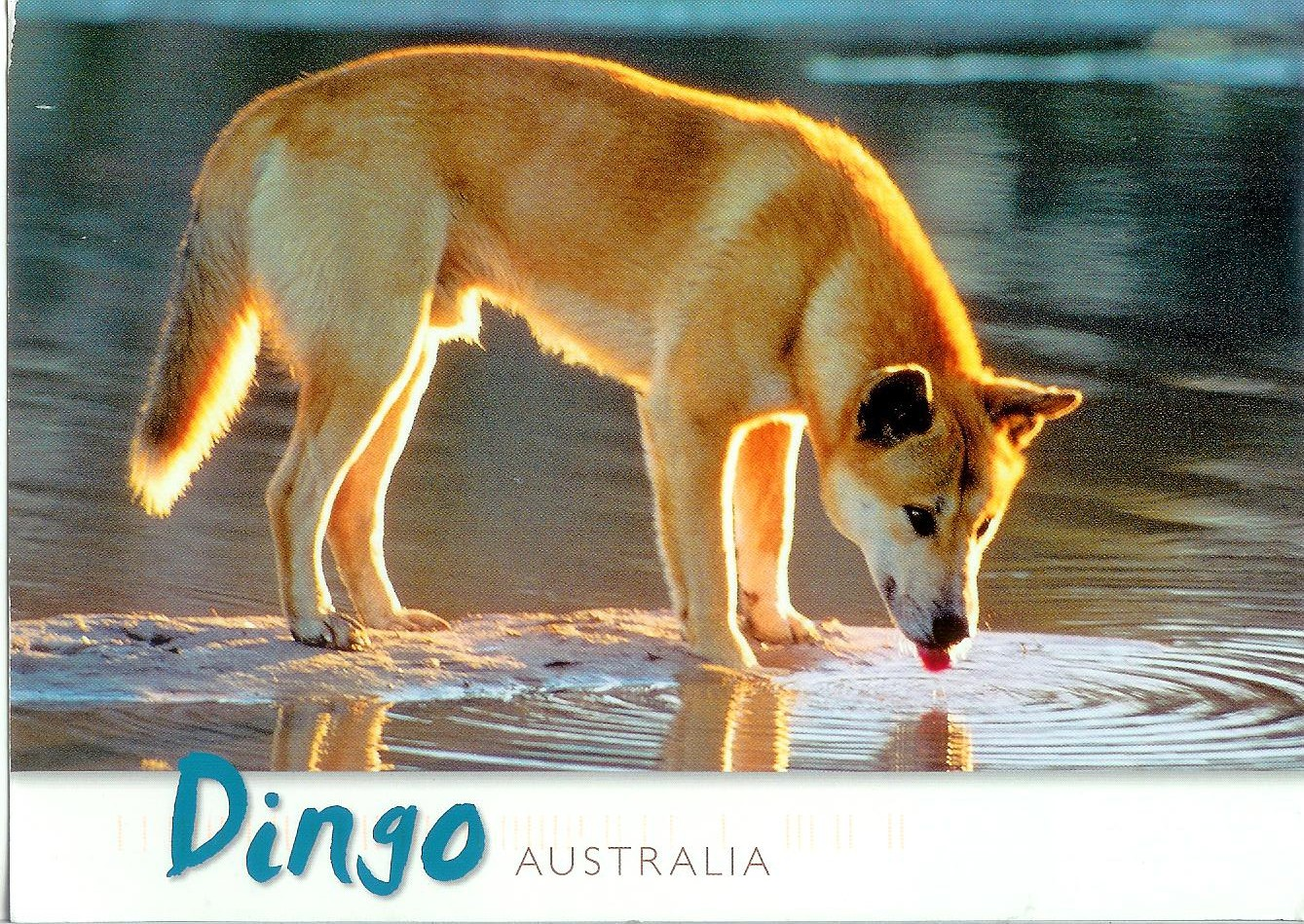 Dingo Remembering Letters And Postcards