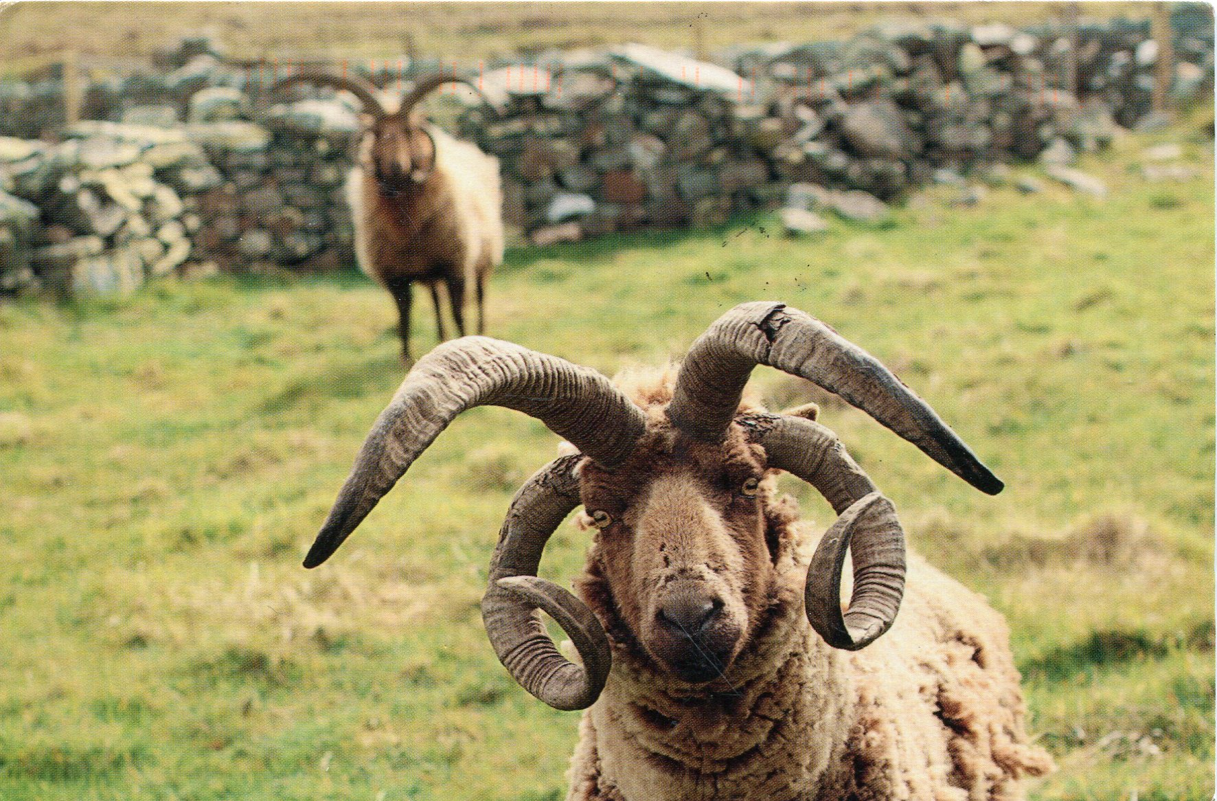 Jacob sheep with 26 horns!!!! Check out my flock