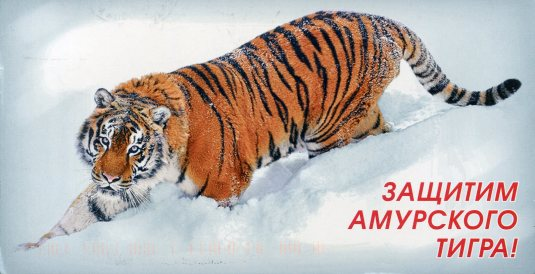 Russia - Tiger