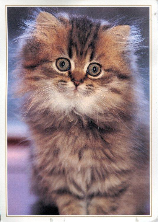Australia - Kitten