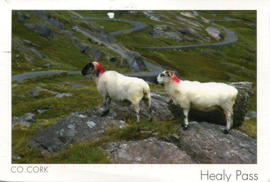 Ireland - Sheep of Co Cork