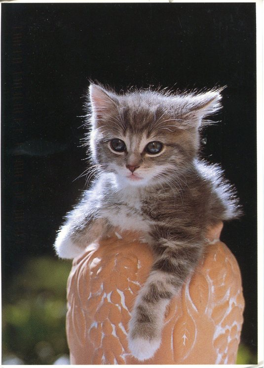 Netherlands - Kitten