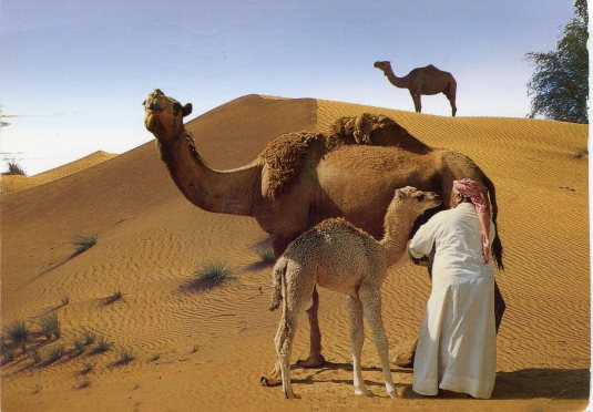 UAE - Camel Milking