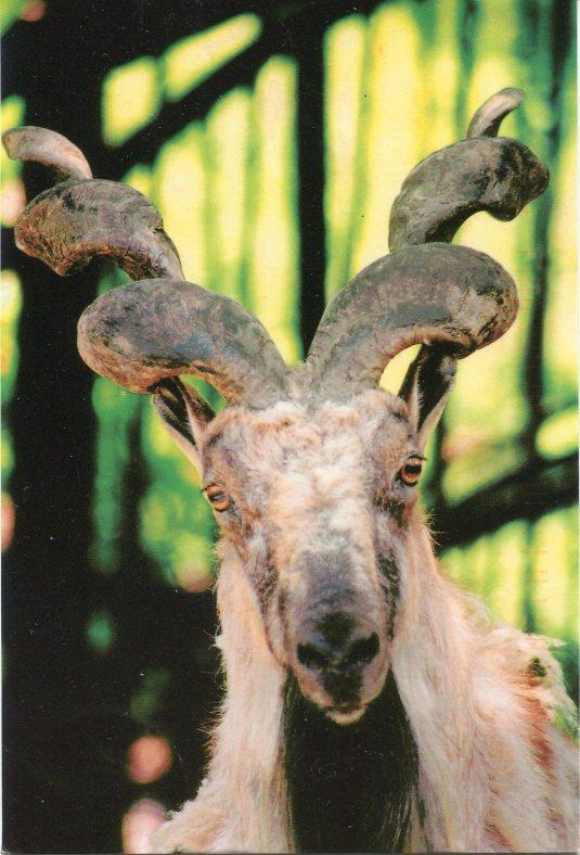 Ukraine - Markhor Goat