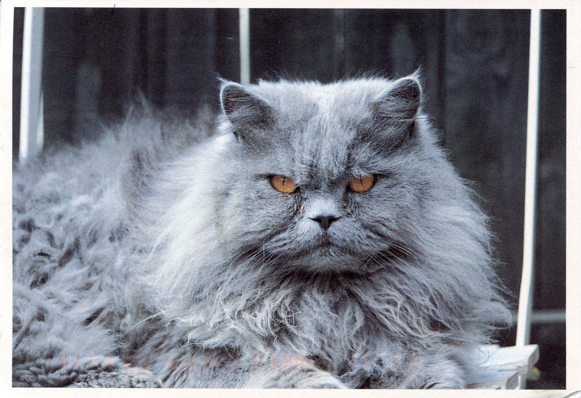 Grey Persian gr...