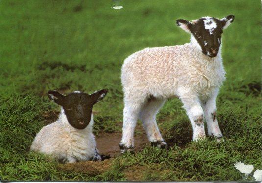 UK - Black Face Sheep