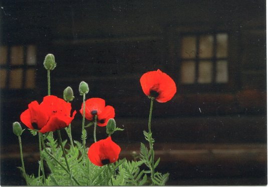 Russia - poppies