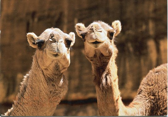 Switzerland - Camels