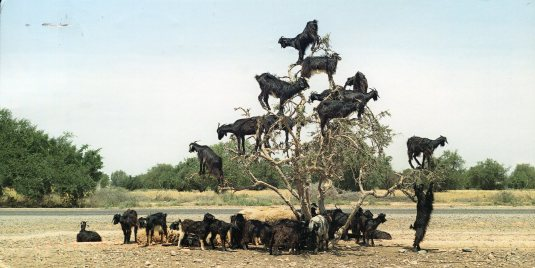 Germany - Goats in a Tree