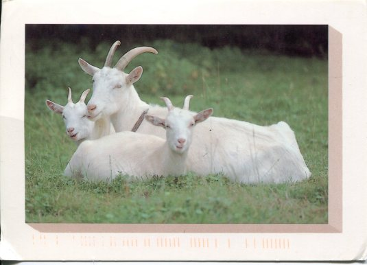 Germany - Goats