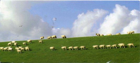 Netherlands - Sheed herd