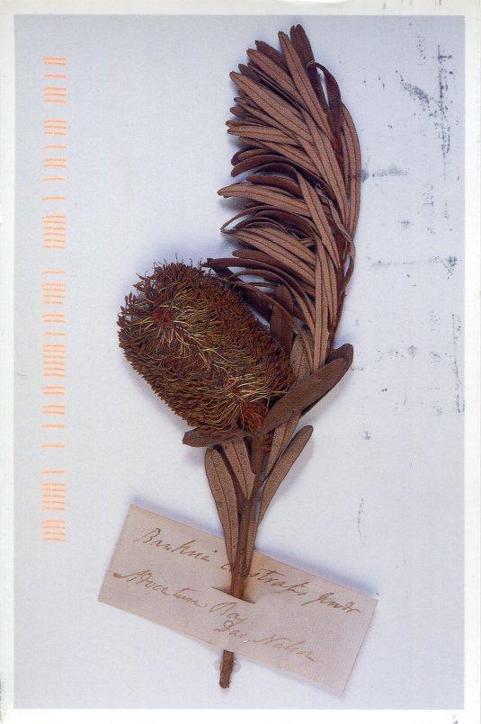 Australia - Banksia marginata