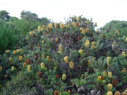 Banksia marginata shrub native Wonthaggi Heathlands yellow flowers