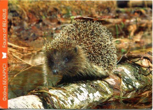Belarus - Hedgehog