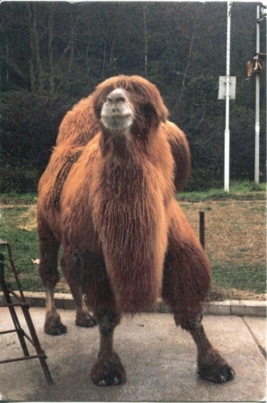 China - Camel