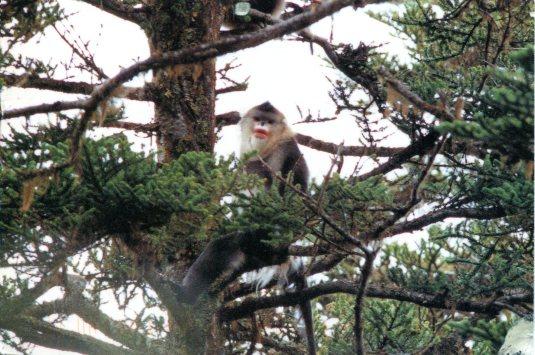 China - Monkey