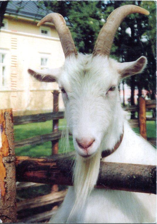 Finland - Goat