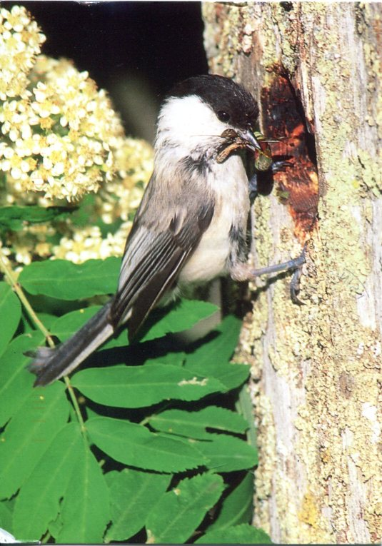 Finland - Willow Tit