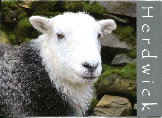Germany - Herdwick Ewe