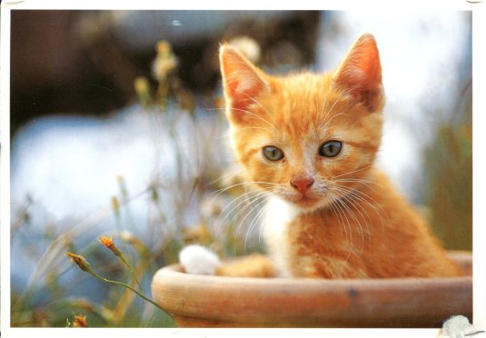 Germany - Orange Kitten