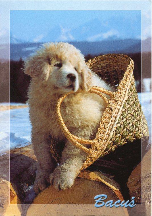 Poland - Bacus Dog