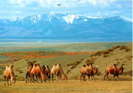 Russia - Camels on Chuya Steppe