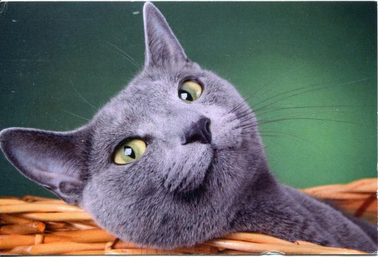 Russia - Grey Cat