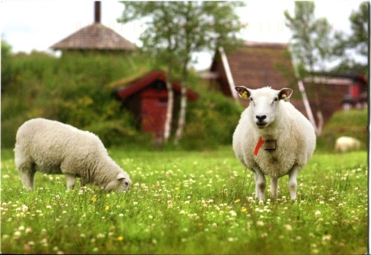 Russia - Sheep in Pasture