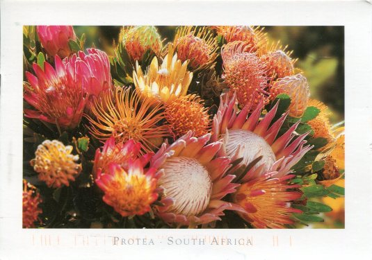 South Africa - Protea