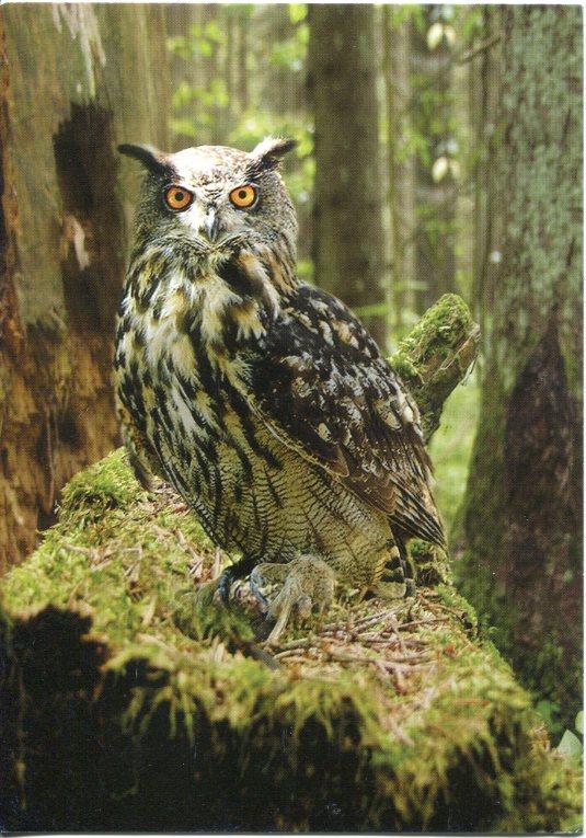 Belarus - Owl
