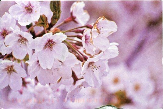 China - Cherry Blossoms