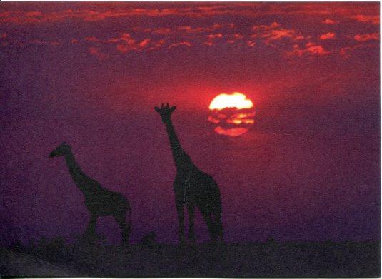 China - Giraffes at Sunset