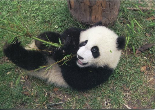 China - Panda Eating