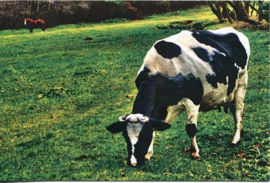 Lithuania - Cow