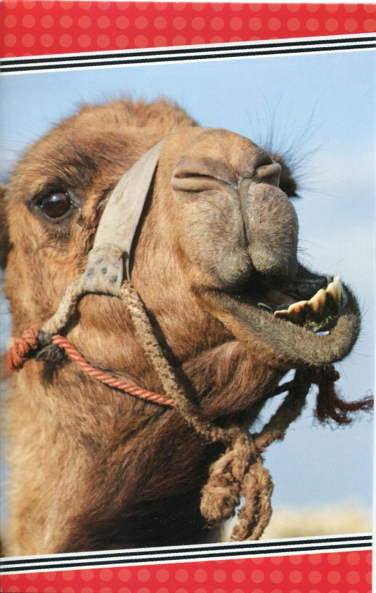 Netherlands - Camel card