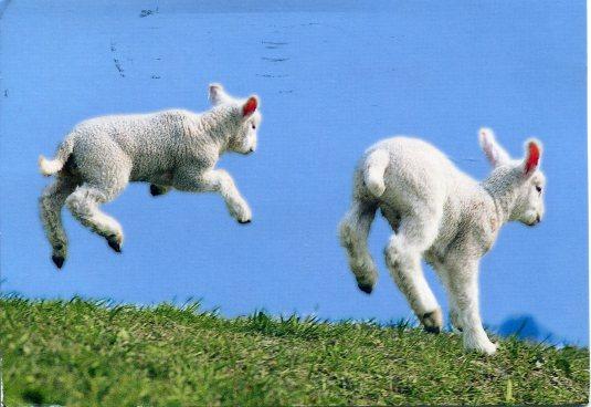 Netherlands - Jumping lambs