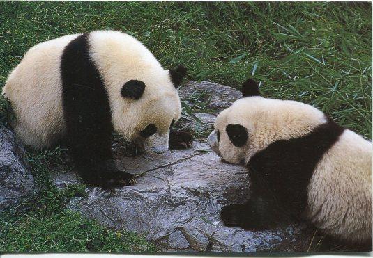 China - Pandas