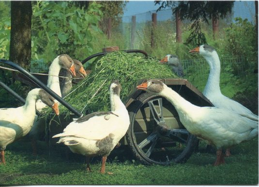Estonia - Geese on the Farm