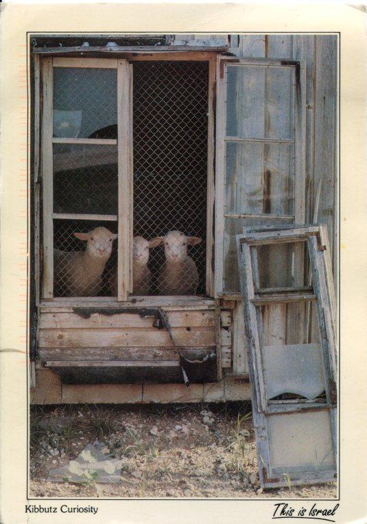 Israel - Sheep Kibbutz Curiosity