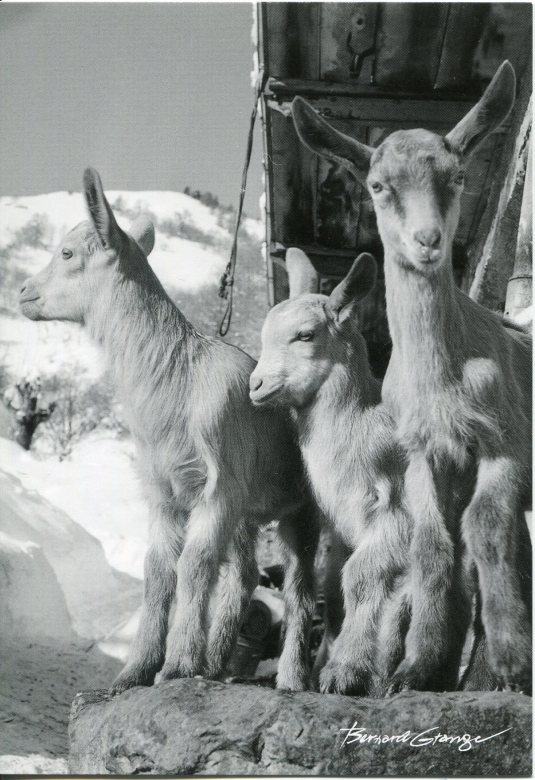 Netherlands - Kid Goats