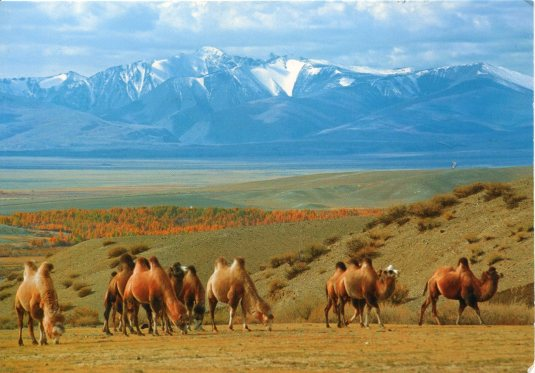 Russia - Camels in the Chuya Steppe