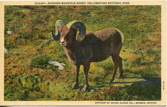 USA - Montana - Big Horned Sheep