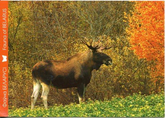 Belarus - Elk