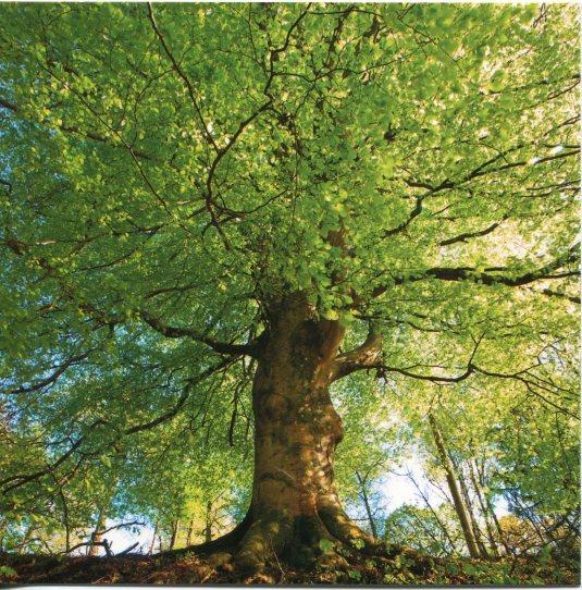 France - Beech Tree