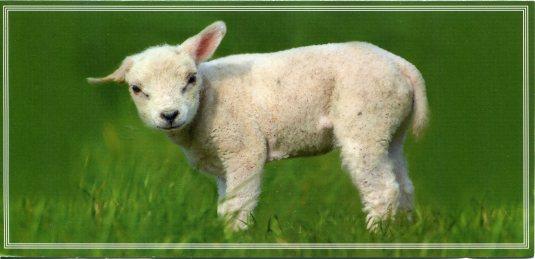 France - Lamb