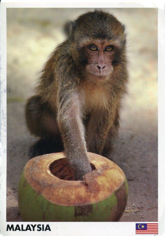Malaysia - Monkey drinking coconut juice