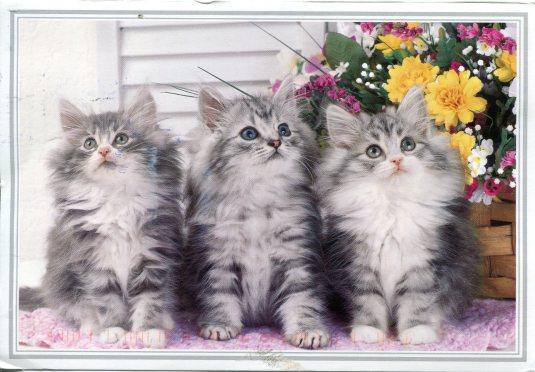Netherland - Grey Kittens