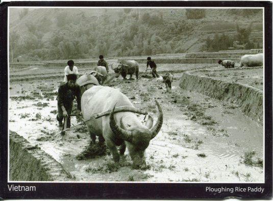 VietNam - Ploughing Rice Paddy